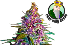 Purple Kush Feminized Seeds CKS