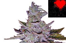 Purple Kush Feminized Seeds ILGM