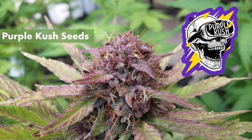 Purple Kush Seeds Cover Photo