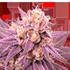 Purple Punch Feminized Cannabis Seeds