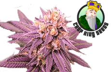Purple Punch Feminized Seeds Crop King Seeds
