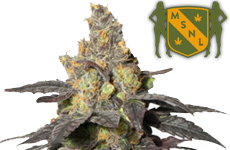 Purple Urkle Feminized Seeds MSNL