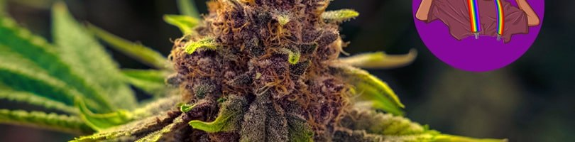 Purple Urkle Seeds Featured Image
