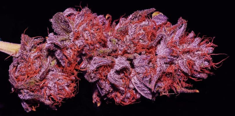 Purple Cannabis Strain
