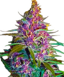 Purple Kush - Crop King Seeds