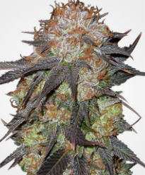 Purple Pineberry Feminized Seeds