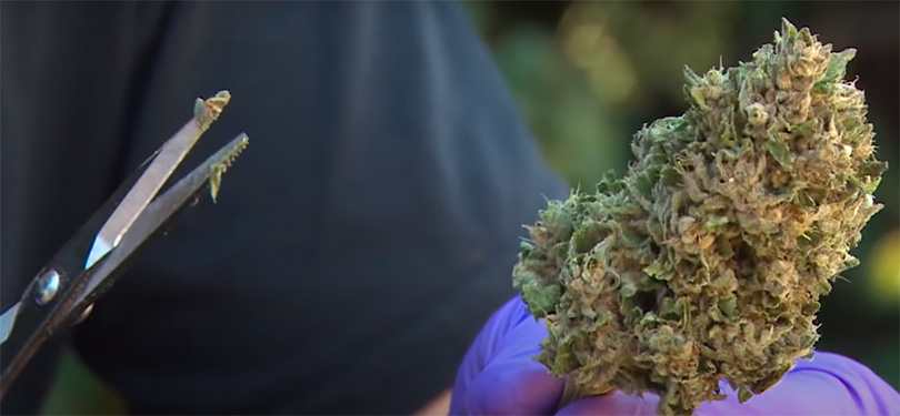 Remove cannabis bud from the stem