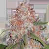 Runtz Feminized Cannabis Seeds