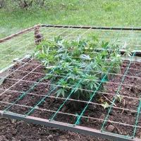 Scrog Outdoor Weed Garden