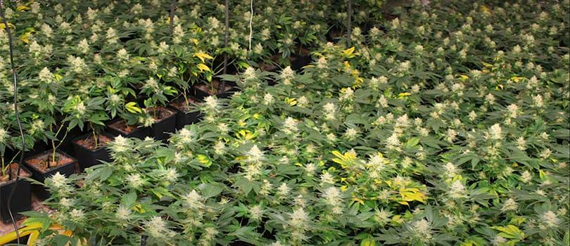 Sea of Green Cannabis Plants
