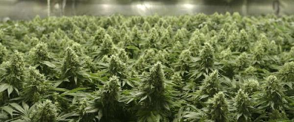 Sea of green Cannabis