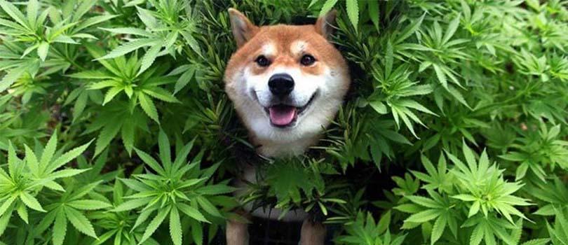 Shiba in Cannabis Plant