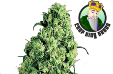 Skunk #1 Feminized Seeds Crop King Seeds