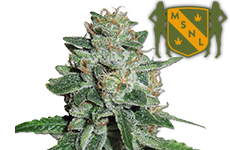 Skunk #1 Feminized Seeds MSNL