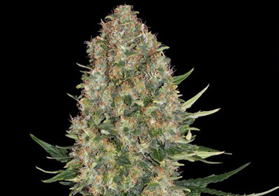Skunk #1 High Times Cannabis Cup Winner Seeds