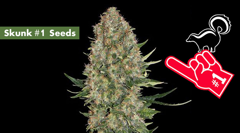 Skunk #1 Seeds Cover Photo