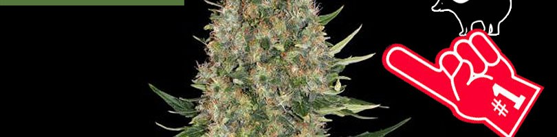Skunk #1 Seeds Featured Image