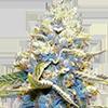 Skywalker OG Feminized Cannabis Cola
