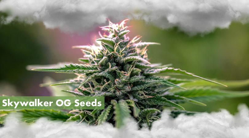 Skywalker OG Seeds Main Photo