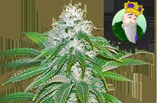Sour Diesel Feminized Seeds CKS