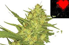 Sour Diesel Feminized Seeds ILGM