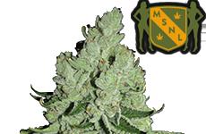 Sour Diesel Feminized Seeds MSNL