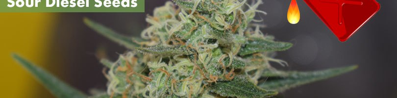 Sour Diesel Seeds Featured Image