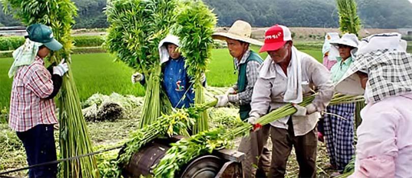 South Korea Cannabis Farmers