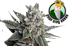 Strawberry Banana Feminized Seeds Crop King Seeds