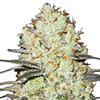 Strawberry Cough Feminized Cannabis Seeds
