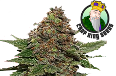 Strawberry Cough Feminized Seeds Crop King Seeds
