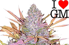 Strawberry Cough Feminized Seeds ILGM