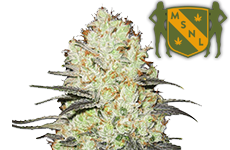 Strawberry Cough Feminized Seeds MSNL