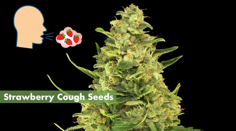 Strawberry Cough Seeds Main Photo
