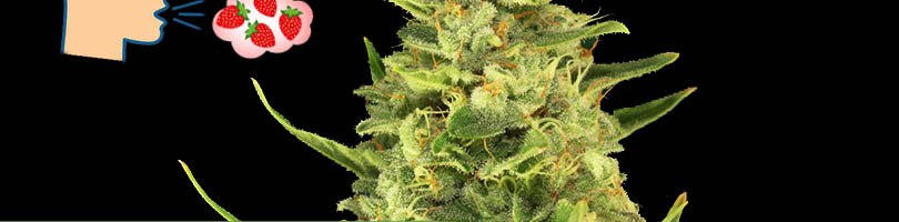 Strawberry Cough Seeds Featured Image