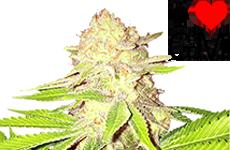 Strawberry Kush Feminized Seeds ILGM
