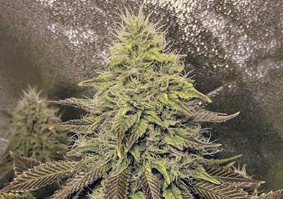 Strawberry Kush High Yield Seeds