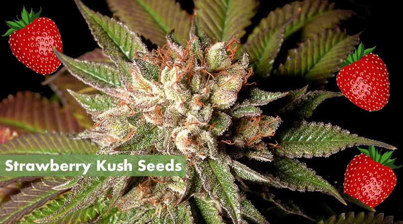 Strawberry Kush Seeds Cover Photo
