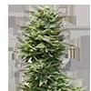 Sunset Sherbet Cannabis Seeds