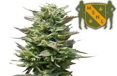 Sunset Sherbet Feminized Seeds MSNL