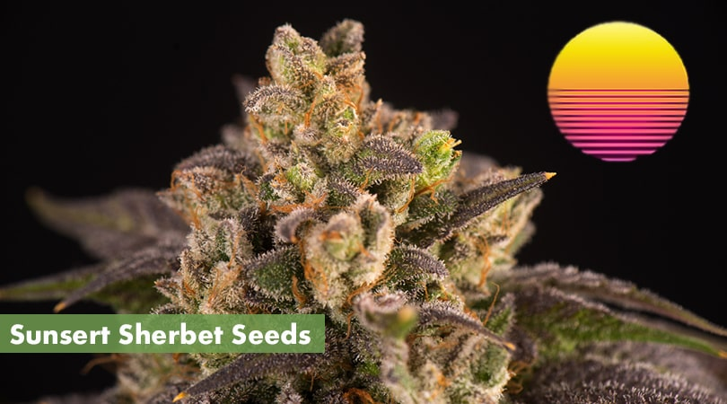Sunset Sherbet Seeds Cover Photo