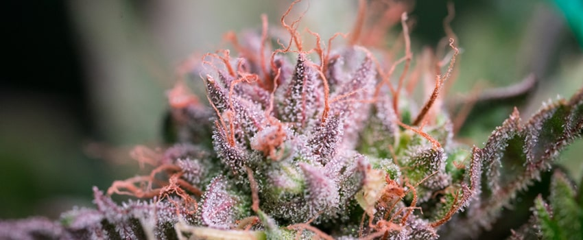 Sunset Sherbet Seeds Strain Description