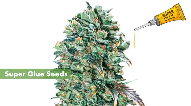 Super Glue Seeds Cover Photo