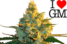 Super Lemon Haze Feminized Seeds ILGM