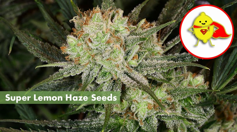 Super Lemon Haze Seeds Main Photo