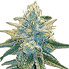 Super Silver Haze Auto Cannabis Seeds