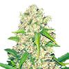 Super Silver Haze Feminized Seeds CKS