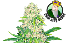 Super Silver Haze Feminized Seeds Crop King Seeds