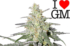 Super Silver Haze Feminized Seeds ILGM