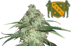 Super Silver Haze Feminized Seeds MSNL